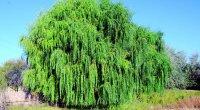 Bu ağacın yarpaqları təbii aspirindir